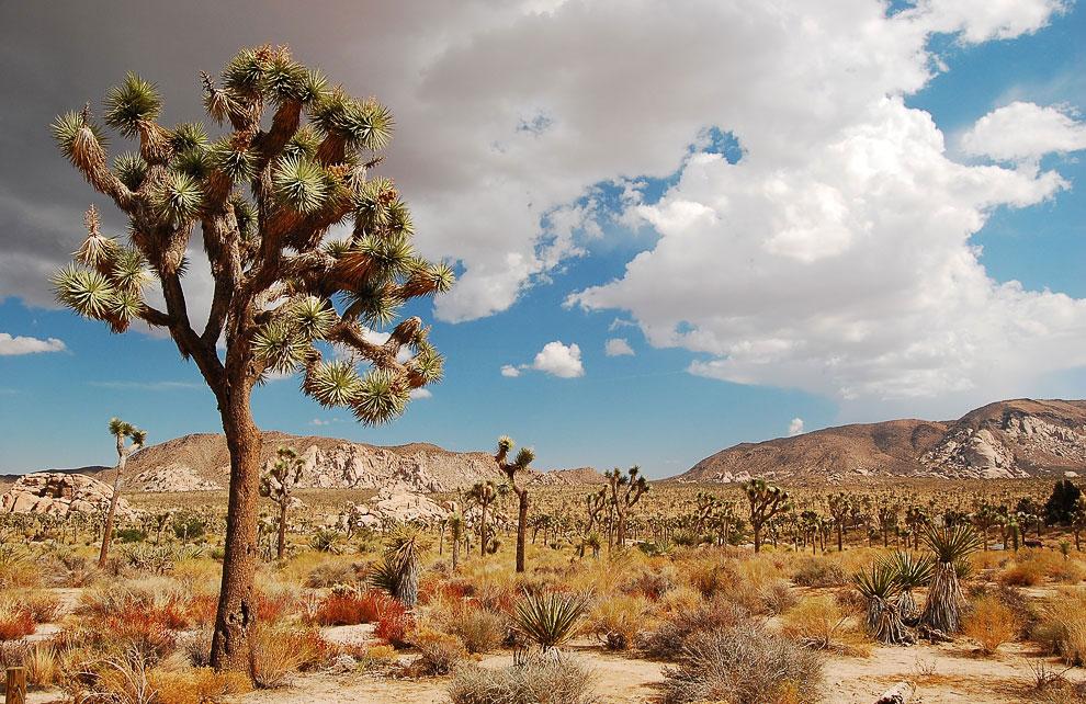 Удивительное и невероятное дерево Джошуа
