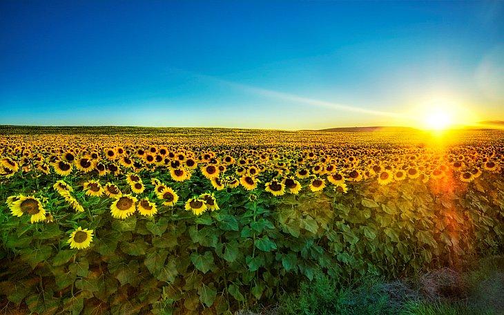 Из истории подсолнечника — цветка солнца