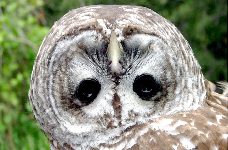 Почему совам удаётся повернуть голову на 270°?