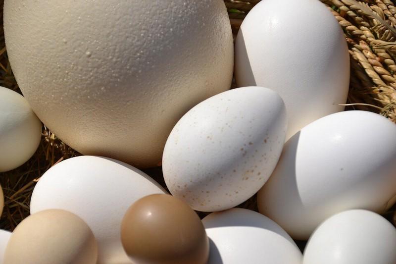 Самые большие яйца среди животных и птиц