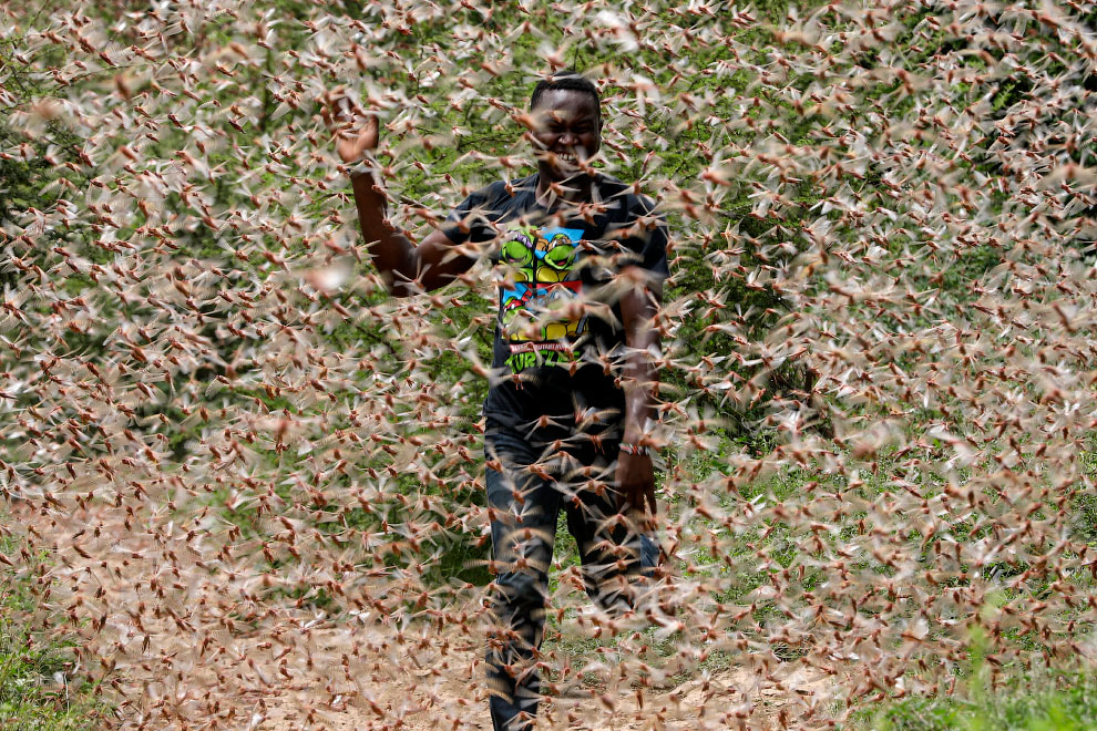 Полчища саранчи в Африке 2020