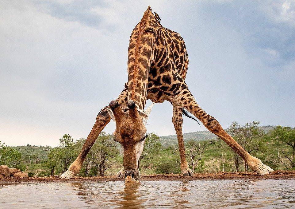Жираф почти сел на шпагат, чтобы попить воды