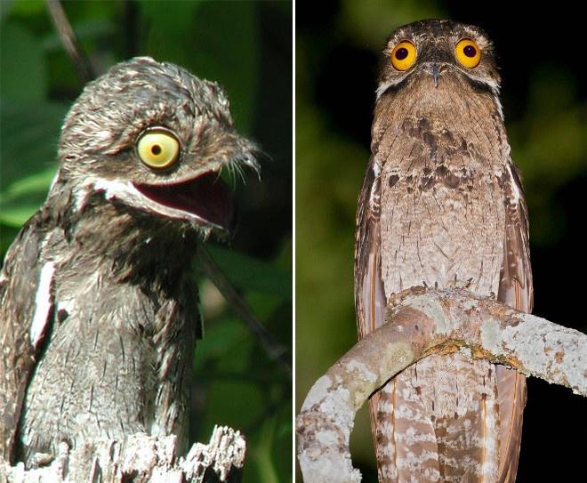 Исполинские козодои — птицы, которые очень забавно выглядят