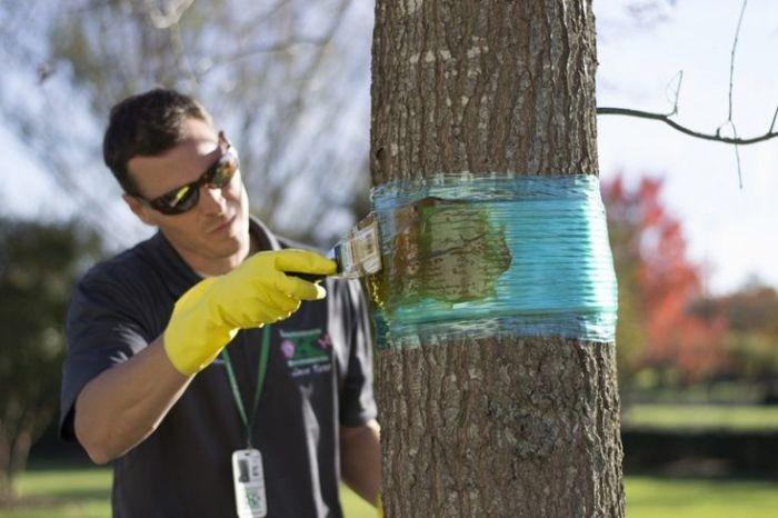 Ловчий пояс для защиты дерева своими руками