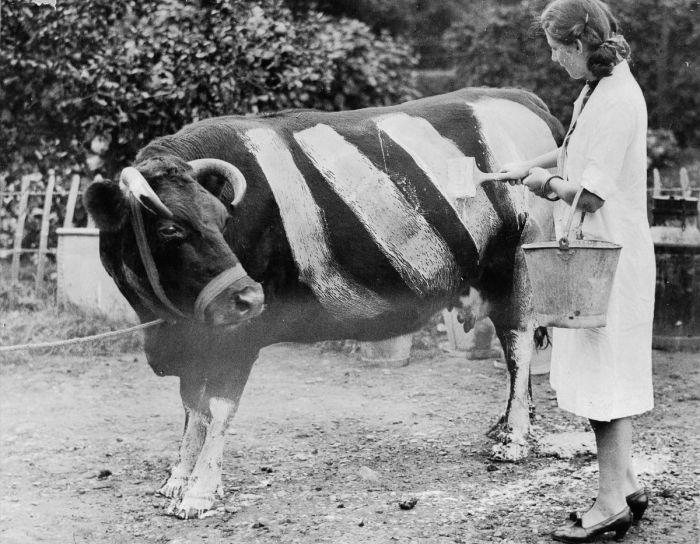 Почему британцы рисовали белые полосы на коровах во время Второй мировой