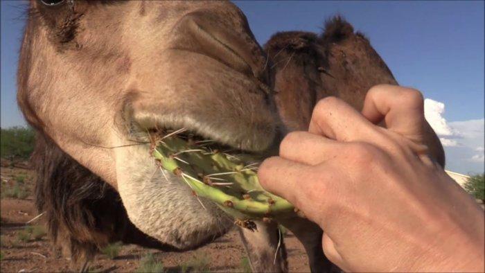 Почему верблюд может есть кактусы с огромными колючками?