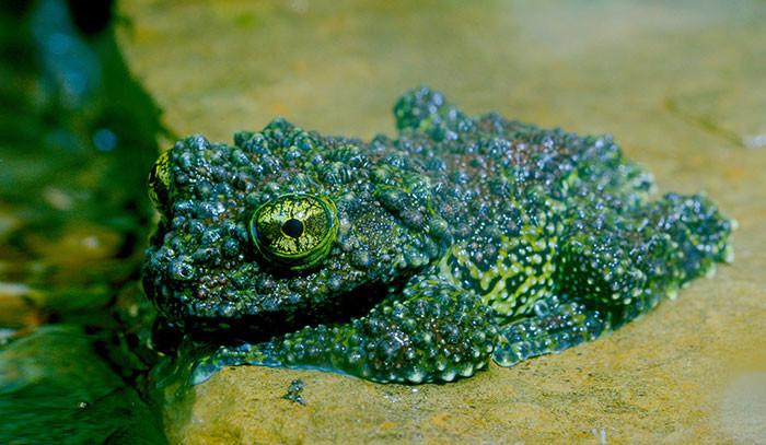 Мшистые лягушки — настоящие мастера маскировки