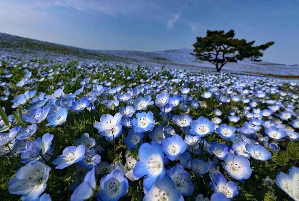 Немофилы расцвели в Национальном приморском парке Хитачи