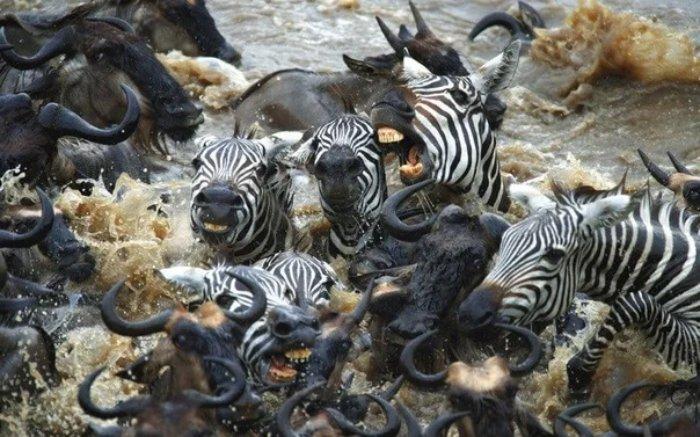 Почему антилопы устраивают каждый год давку на переправе?