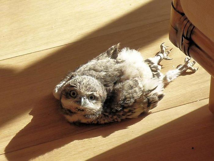 Молодые совы спят в очень смешной позе