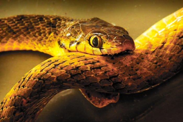 Может ли ядовитая змея умереть, укусив саму себя?