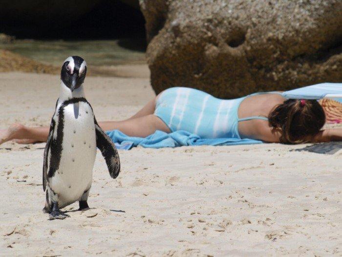 Пингвины не живут на Северном полюсе? Или живут?