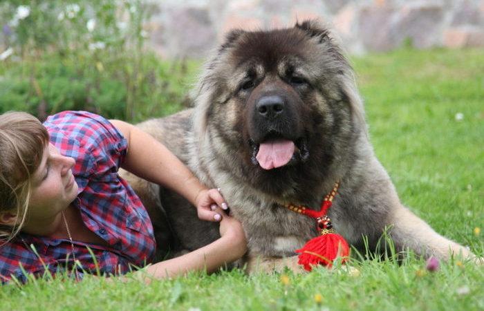 Положительные и отрицательные особенности кавказской овчарки