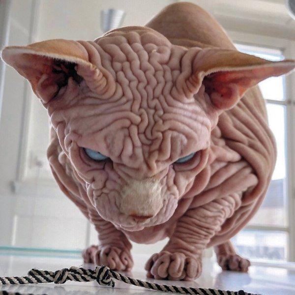 Сфинксы — не самые фотогеничные коты в мире