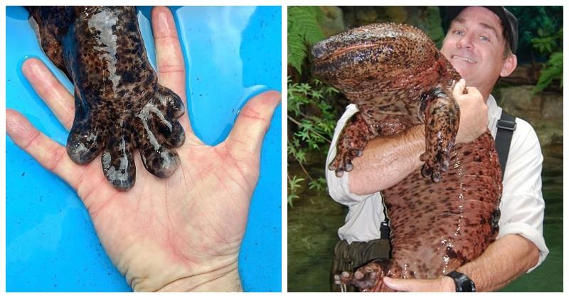 Интересные факты о японской исполинской саламандре