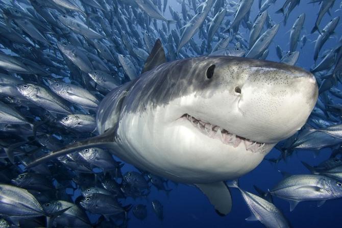 Немного интересных фактов об акулах