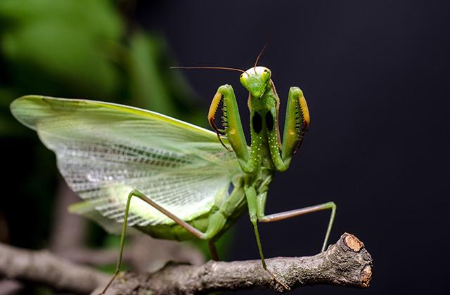 Почему самка богомола после спаривания съедает самца