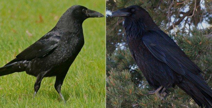 Ворон и ворона: в чём разница между ними?
