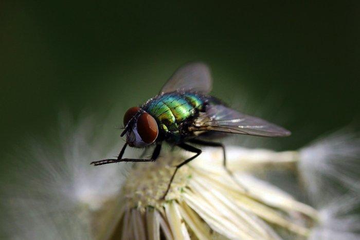 Для чего мухи постоянно потирают лапки