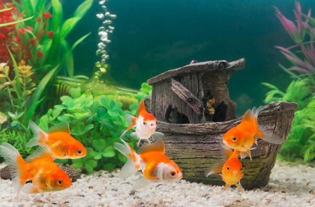 Смогут ли аквариумные рыбки выжить в обычном пруду