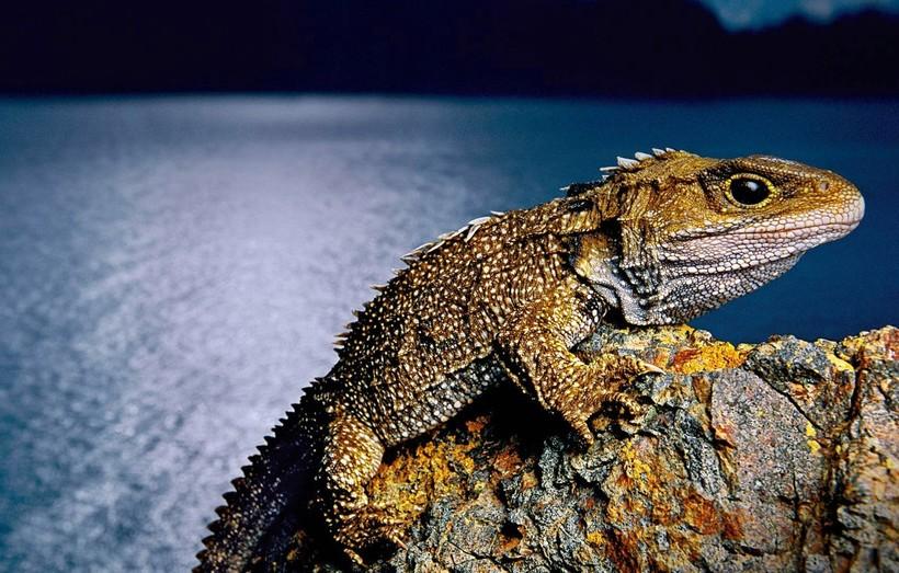Туатара — самая необычная рептилия из ныне живущих