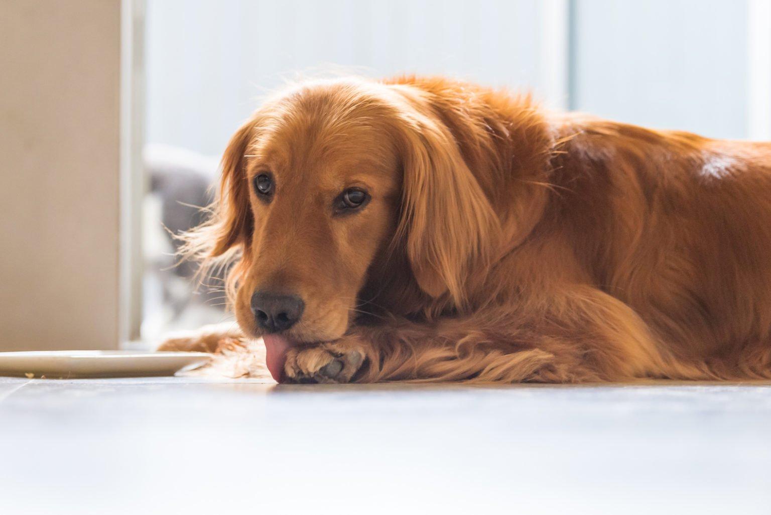 По какой причине собаки лижут и кусают свои лапы