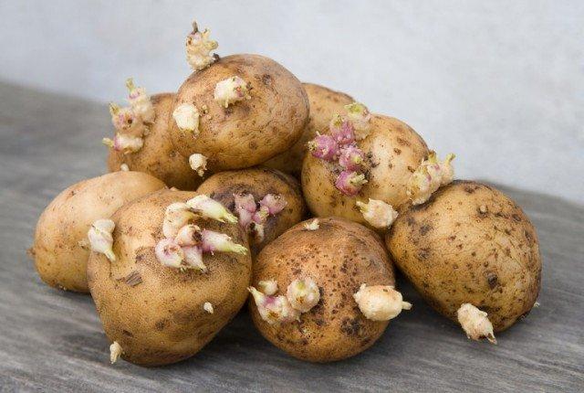 Может ли быть проросший картофель опасен для человека?
