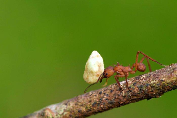 Почему муравьи настолько сильные?