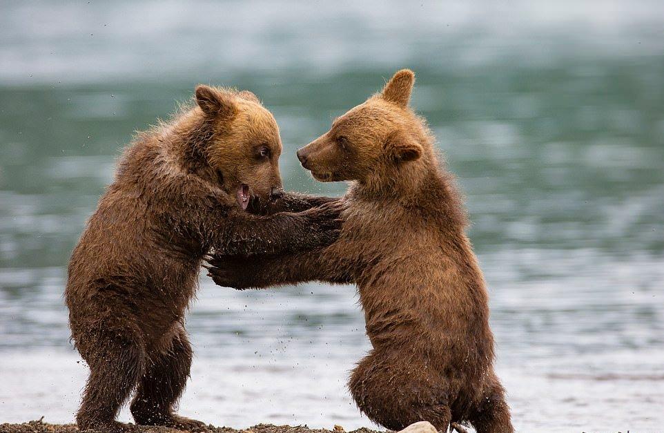 Схватка двух медвежат на Камчатке