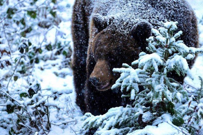 Интересные факты из жизни медведя «шатуна»