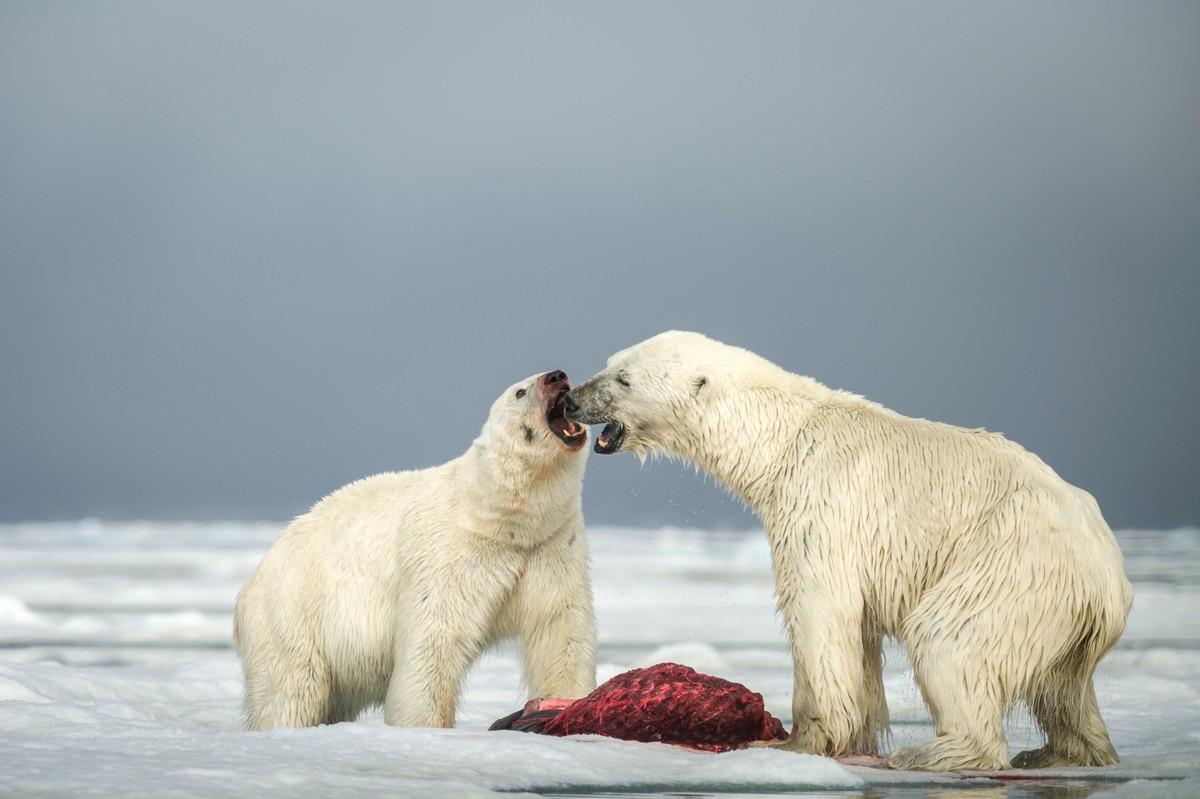 Впечатляющая драка белых медведей из-за мяса