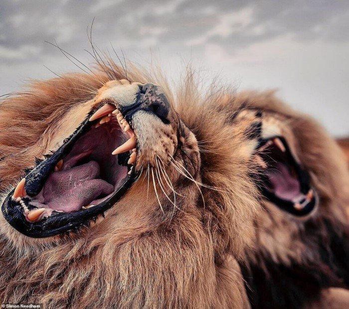 Британский фотограф Саймон Нидэм показывает красоту животных из заповедников