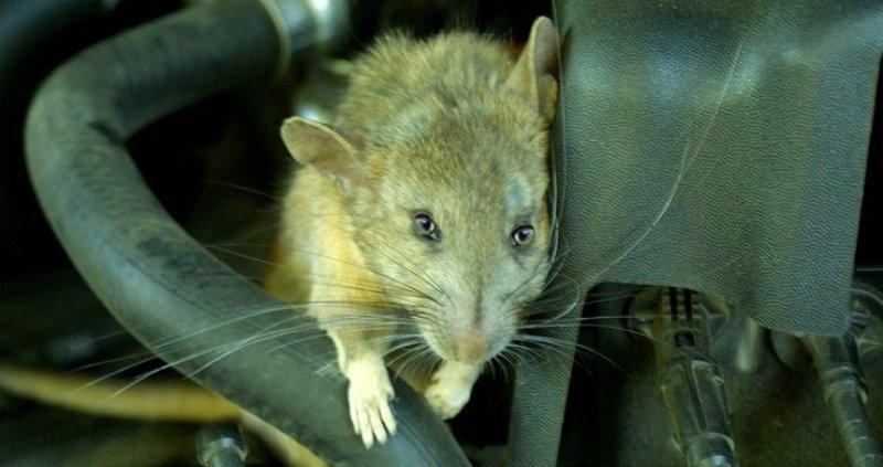 Как мыши помогли Красной Армии в боях за Сталинград