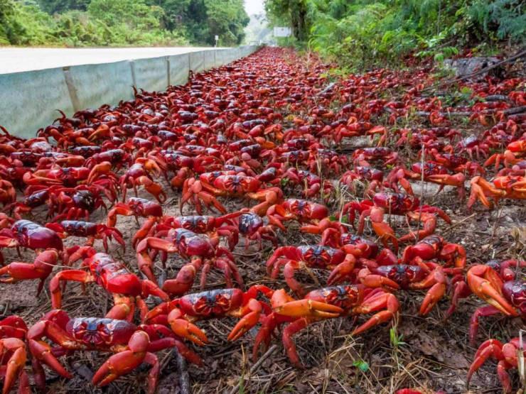 Красные крабы с острова Рождества