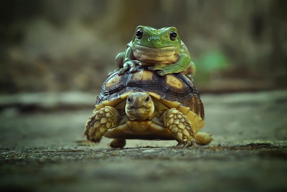 Лягушка прокатилась на спине черепахи