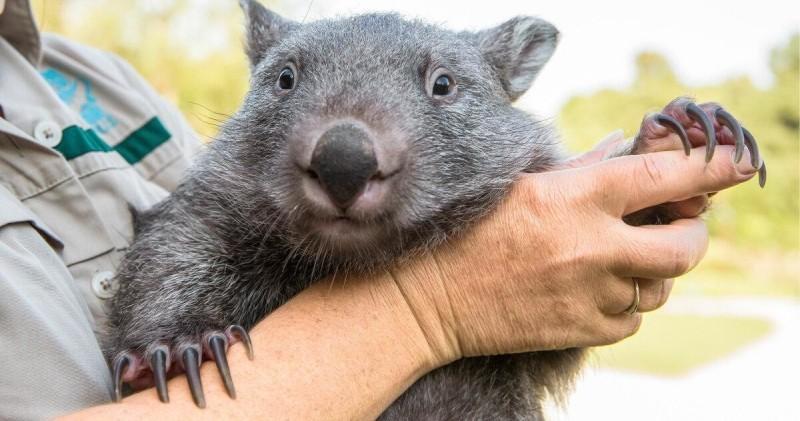Ученые выяснили, почему австралийский вомбат какает кубиками