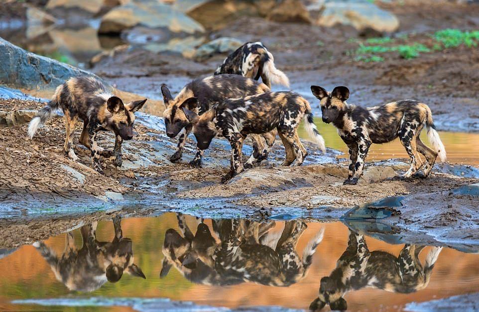 Замечательные снимки диких собак Африки