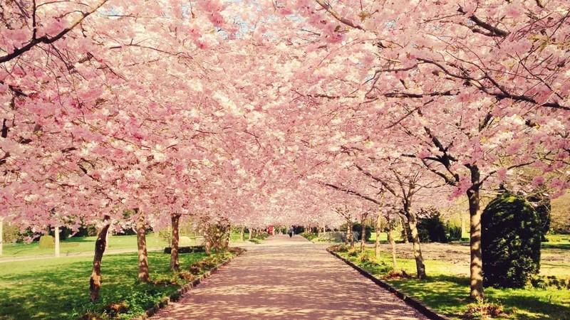 Интересные факты о цветении сакуры