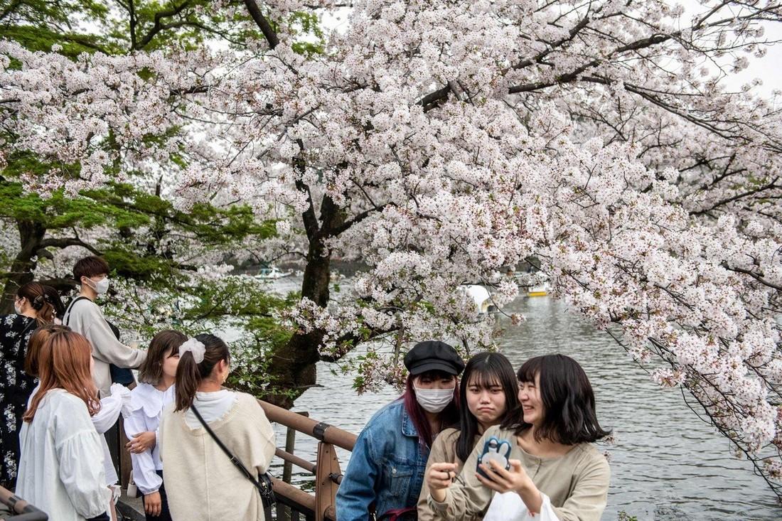 Сакура в Японии зацвела раньше, чем обычно
