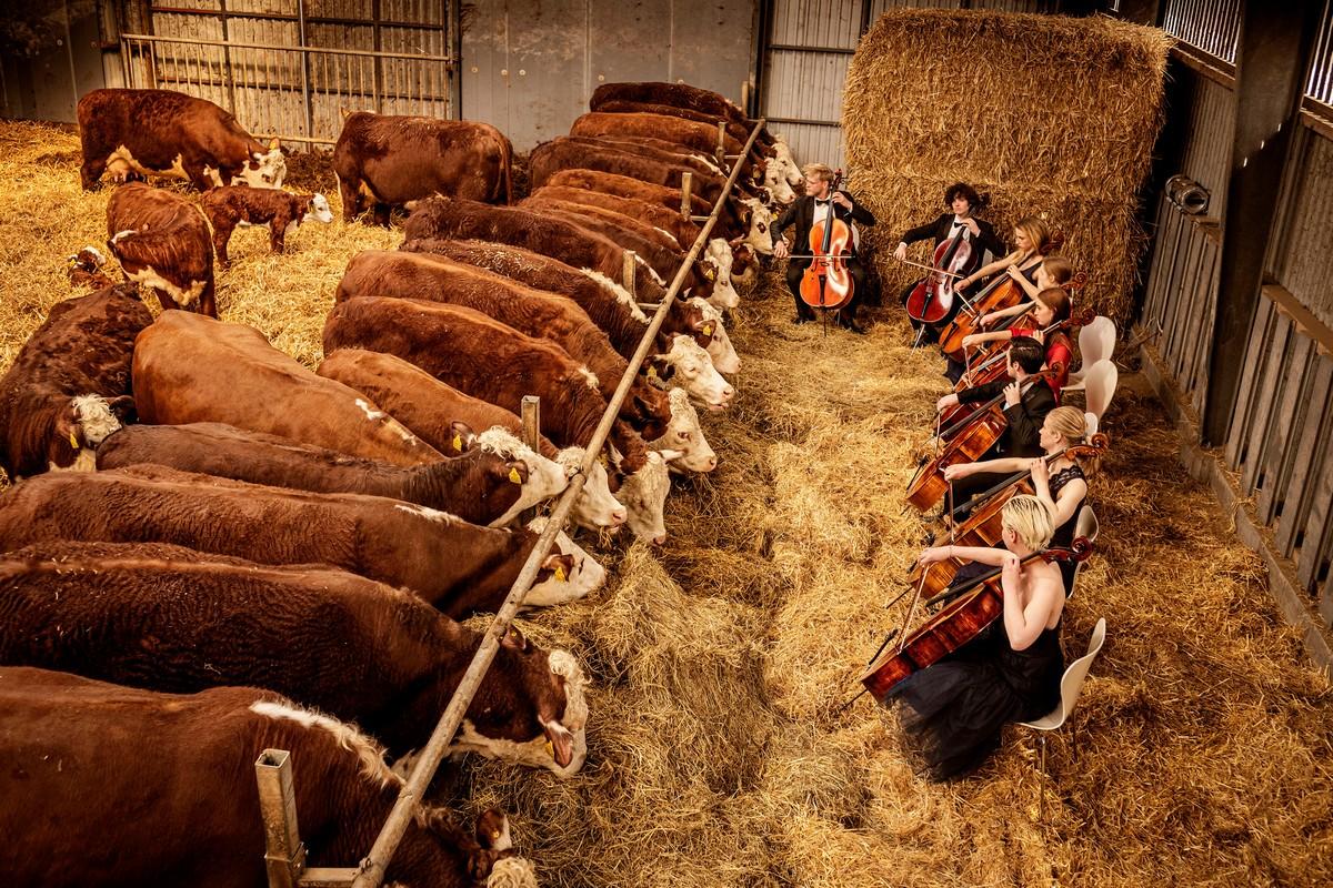 Коровы в Дании «снимают стресс», слушая классическую музыку