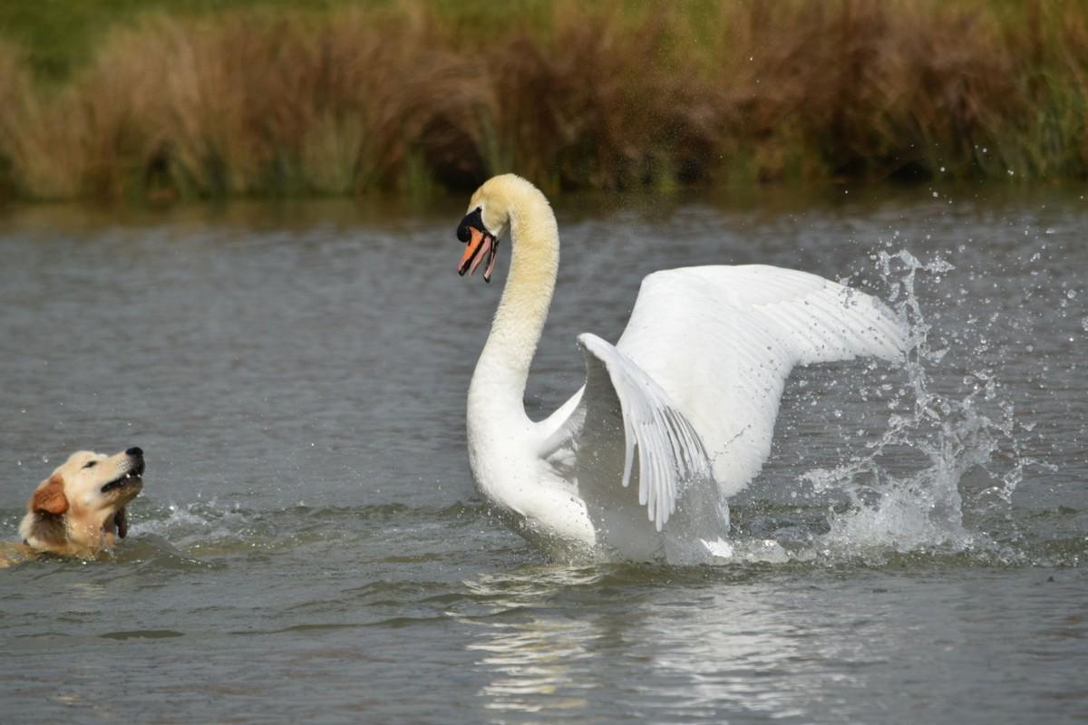Лебедь прогнал собаку, которая приблизилась к его гнезду