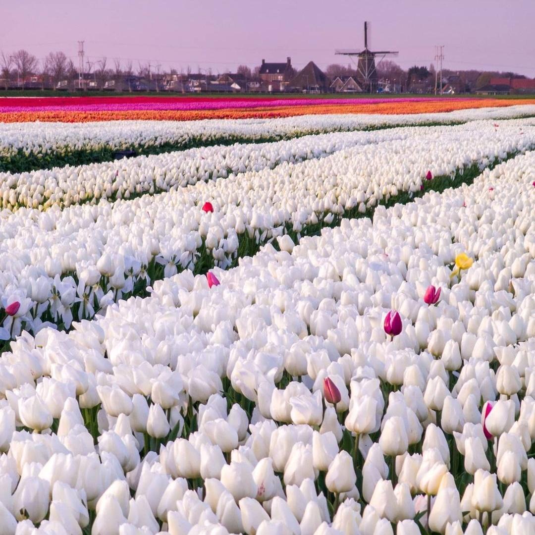 Волшебные поля цветущих тюльпанов от Дирка Яна Пирсма