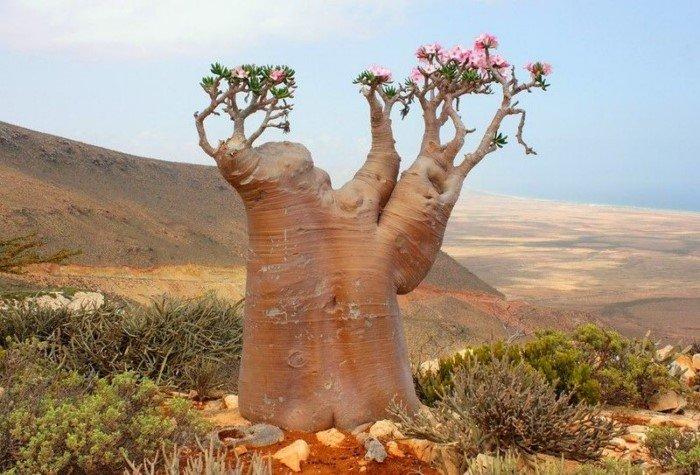 Ядовитая роза пустыни — прекрасная и опасная