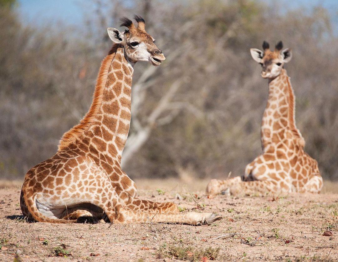 Дикие животные Африки на снимках Руди Хульшофа
