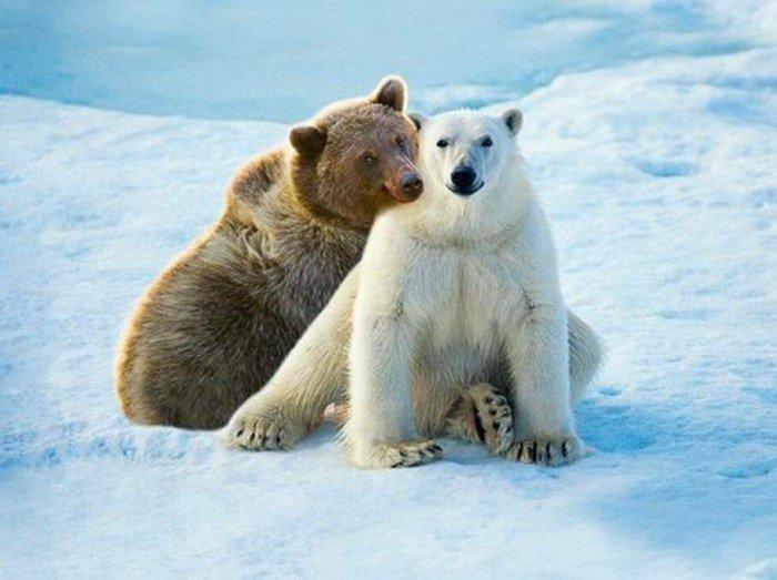 Кто родится от необычного союза бурого медведя с белым?