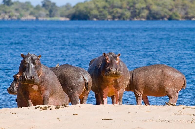 Неожиданные любопытные факты о бегемотах