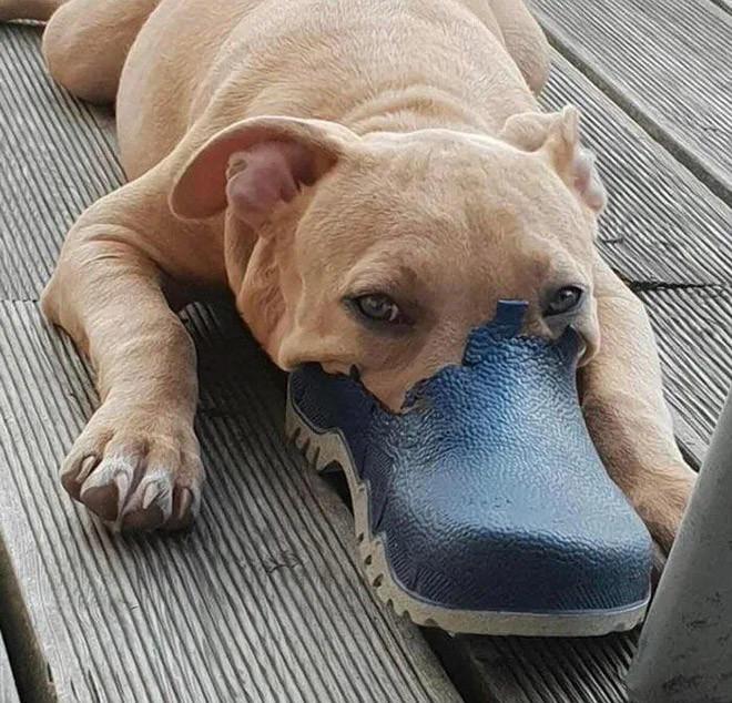 Новая порода собак — уткопёс