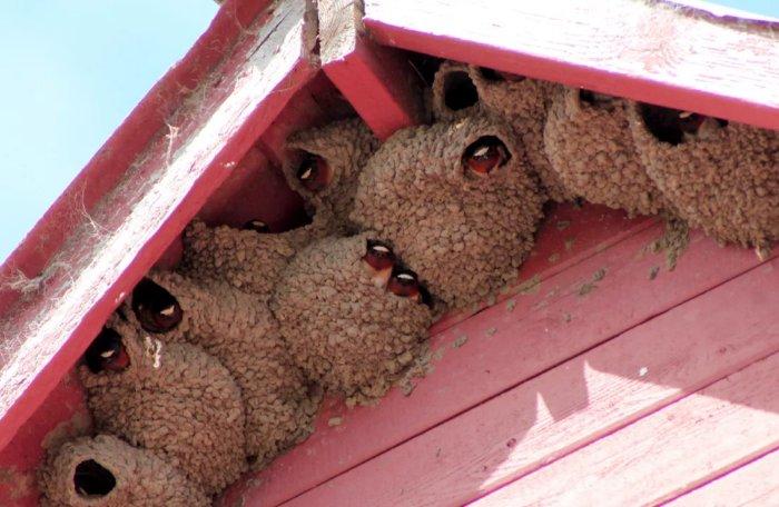 Почему ласточки строят гнёзда именно под крышей?