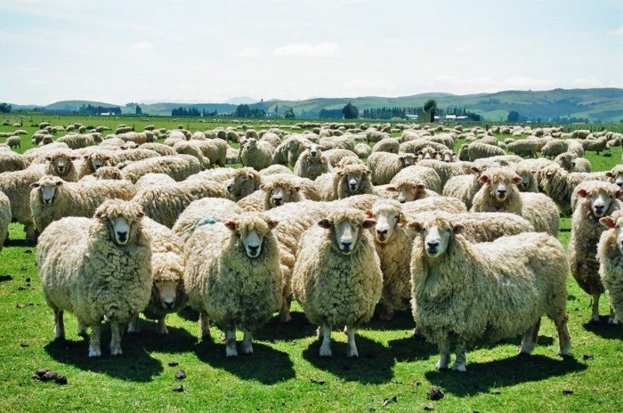 Великая овечья паника 1888 года