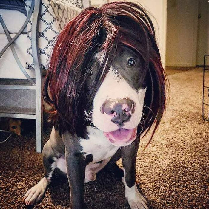 Владельцы собак примеряют своим питомцам разные парики